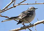 Mockingbird portrait at Fort Wadsworth, Staten island.  Pensive expression, it was not worried about our presence.