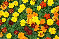 Marigold flowers, New Jersey