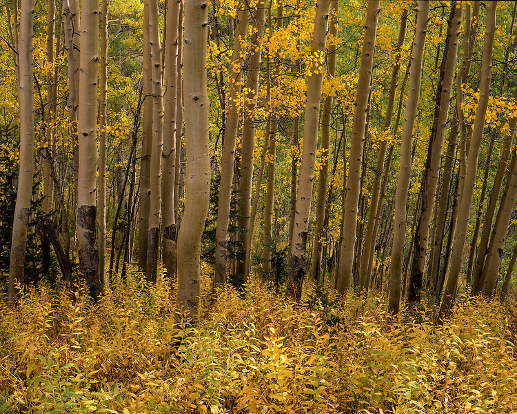 Aspen grove in fall color; White River National Forest, CO