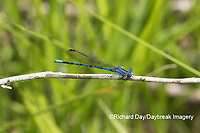 06084-00108 Springwater Dancer (Argia plana) in fen Washington Co. MO