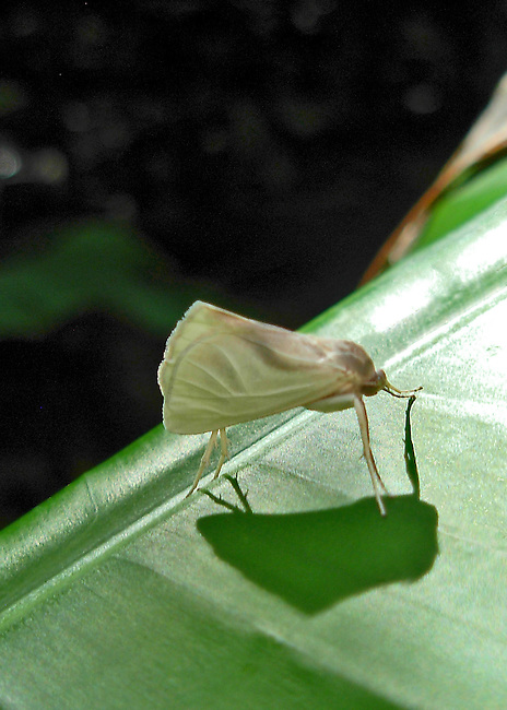 A small, creamy-white moth with its shadow standing out on a green leaf in Costa Rica. I think this is a moth, although the stance is skipper-like, except the head is tucked like a moth. I have searched extensively, but been unable to identify it. Identification would be appreciated.