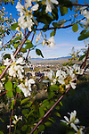 Serviceberry blossoms on Mount Sentinel above Missoula, Montana