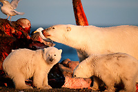 polar bears, mother and cubs, Ursus maritimus, feeding on carcass of bowhead whale, Balaena mysticetus, Arctic National Wildlife Refuge, Alaska, polar bear, Ursus maritimus