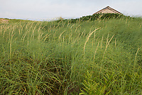 Thalassa Viewed Through Beach Grass