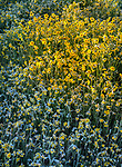 Carrizo National Monument, California:<br /> Detail ground view of monolopia blossoms with morning frost