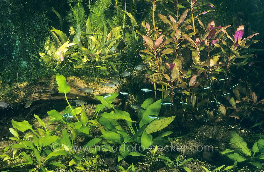 Eingerichtetes Aquarium, Gesellschaftsbecken, Warmwasseraquarium, tropisches Süßwasser-Aquarium, aquarium, fish tank. Piabatetra und Blauer Neon, Piaba-Tetra, Piabasalmler, Piaba-Salmler, Odontostilbe piaba, Chirodon piaba, Serrapinnus piaba. Blauer Neon, Paracheirodon simulans, Hyphessobrycon simulans, green neon tetra, Le faux néon