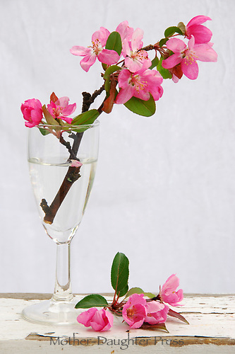 Blooms from crabapple tree in wine glass