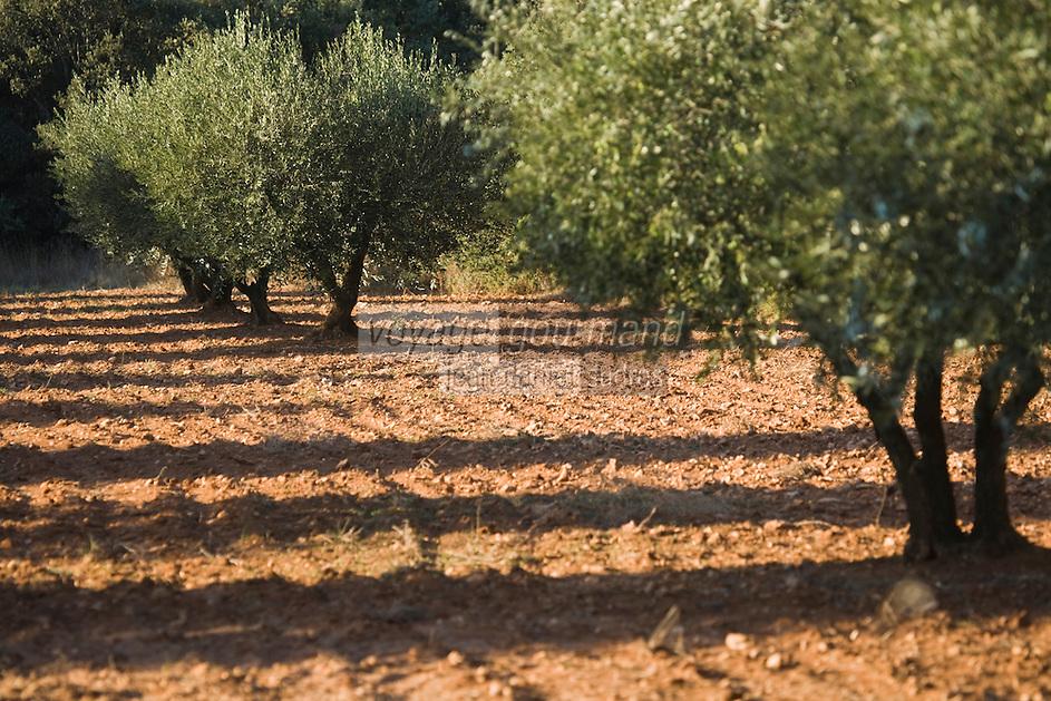 Europe/France/Languedoc-Roussillon/30/Gard /Env de Flaux: Oliveraie