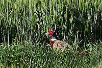 Ring-necked Pheasant in wheat field