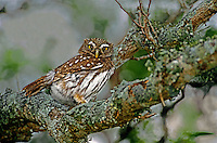 56399024 wild ferruginous pygmy owl glacidium brasillianum stares down from a perch in a high tree in the rio grande valley in texas