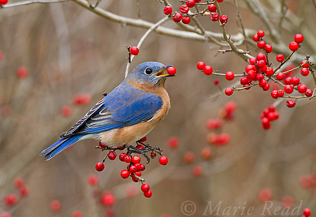 Eastern Bluebird (Sialia sialis) male feeding on winterberry (Ilex sp) fruits in winter, New York, USA