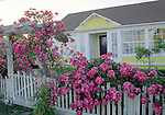 Rock Roses growing outside a Village home, Mendocino, California