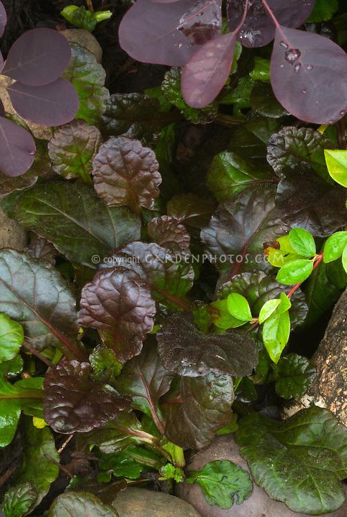 Ajuga reptans 'Binblasca' aka 'Black Scallop' with Berberis thunbergi 'Atropurpureum' foliage