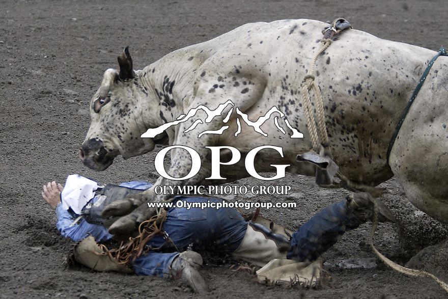 24 August 2008:  Nat Fly from Lava Hot Springs, Idaho got attacked by the bull Stinger after being bucked off in the first round of the Dodge Extreme Bulls in Bremerton, Washington.