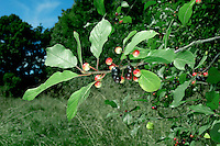 ALDER BUCKTHORN Frangula alnus (Rhamnaceae) Height to 5m. Open, thornless bush or small tree. Found in damp hedgerows and scrub, usually on acid soils. FLOWERS are 3mm across, pale green and 5-petalled (May). FRUITS are berries, green then ripening black. LEAVES are oval and have wavy margins; dark green in summer, turning yellow in autumn. STATUS-Locally common in England and Wales only.