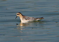 Adult red phalarope in non-breeding plumage in October