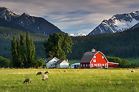 Sheep in pasture with barn and Wallowa Mountains. Near Joseph. Oregon
