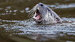 USA, California, Point Reyes National Seashore, North American river otter (Lontra canadensis)