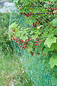 A redcurrant bush covered in netting to protect the fruit from birds.