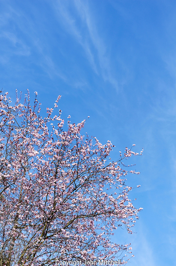 Pink Japanese ornamental plum tree blossoms against a blue sky, Vancouver, BC, Canada