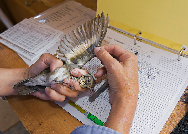 Grey-cheeked Thrush (Catharus minimus) has wing inspected during fall bird banding to help monitor migration & population trends, Haldimand Bird Observatory, s. Ontario, Canada.