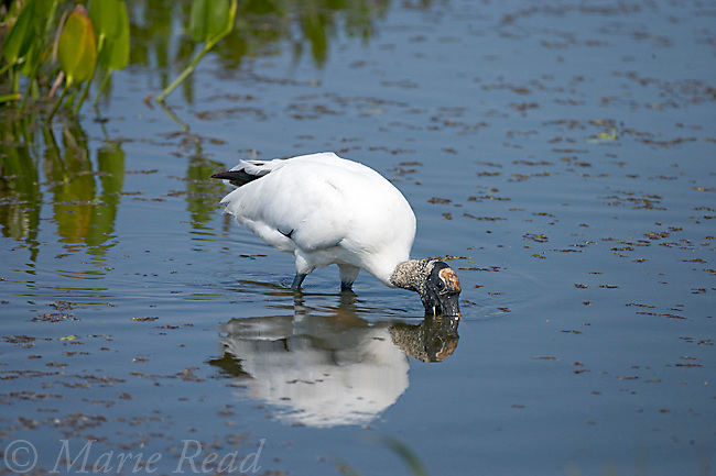 Wood Stork (Mycteria americana) feeding by holding its open bill under water as it slowly wades, Viera, Florida, USA