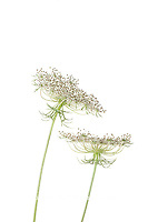 30099-00701 Queen Anne's Lace (Daucus carota) (high key white background) Marion Co. IL