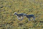 running lambs