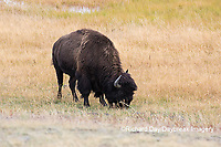 01985-02701 Bison (Bison bison) near Midway Geyser Basin Yellowstone National Park, WY