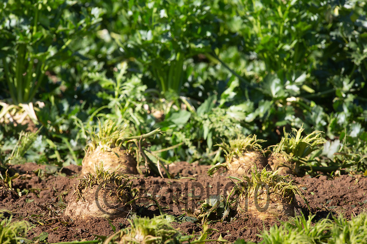 8.9.2020 Celeriac growing in the Lincolnshire Fens <br /> ©Tim Scrivener Photographer 07850 303986<br />      ....Covering Agriculture In The UK.