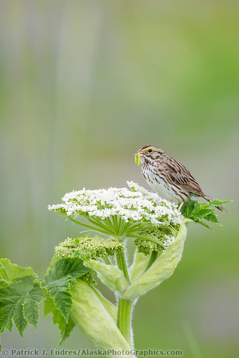 Savannah sparrow with worm, perched on a wild celery plant, Katmai National Park, Alaska Peninsula, southwest, Alaska.