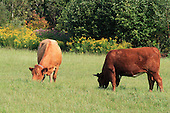 Two beef cattle grazing in pasture