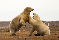 Two Polar Bears play along the ANWR coastal plain.