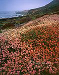 Buckwheat, Soberanes Point, Garrapata State Park, Big Sur, Monterey County, California