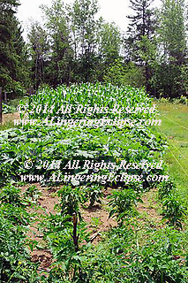 Wilderness home garden , mid summer and ready for harvest. The reward for a summer home garden is found in the wonderful corn, picked as the water boils, stripping silk & tassle to expose the golden kernels of sweet corn which can be enjoyed straight from the garden without cooking it is so delicious!