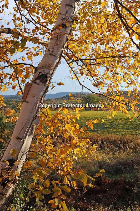 Birch Tree with Foliage during Fall Season in Walpole, New Hampshire USA