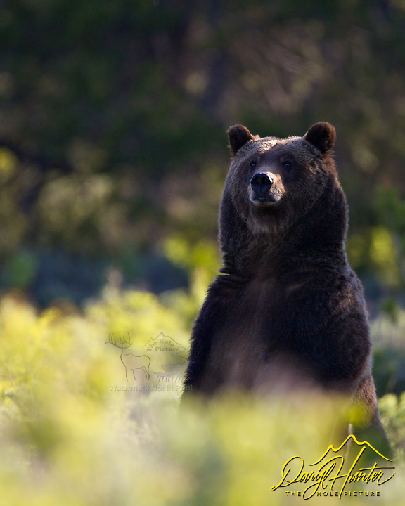 Standing Grizzly Bear #399 backlit in morning light in Grand Teton National Park, Jackson Hole, Wyoming