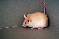 White mouse with red eyes, California