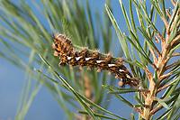 Klosterfrau, Hochwald-Fichteneule, Mönch, Raupe frisst an Kiefer, Panthea coenobita, Pine Arches, caterpillar, La Cénobite, Eulenfalter, Noctuidae, noctuid moths, noctuid moth