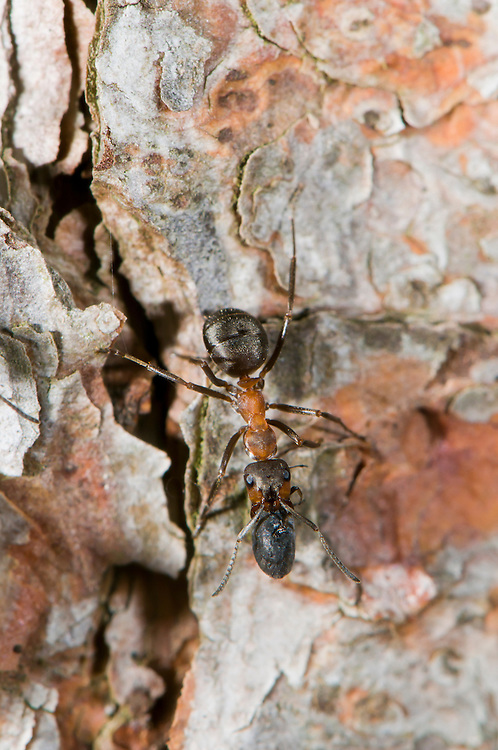 Wood ant, Formica rufa, collecting conifer resin. This is believed to be used for it's antiseptic qualities. Sapperton, Gloucestershire. UK.
