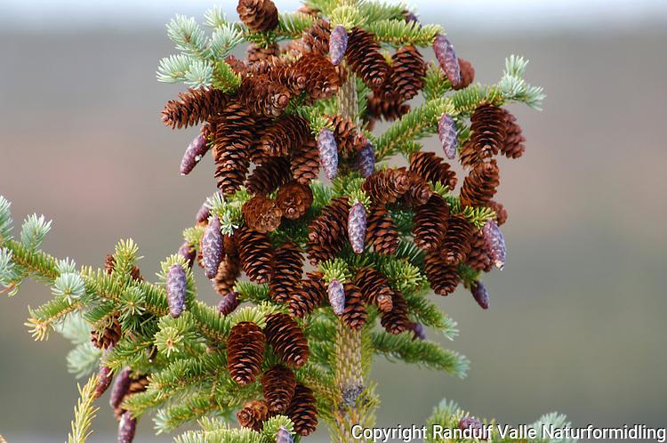 Gran med kongler ---- Spruce tree