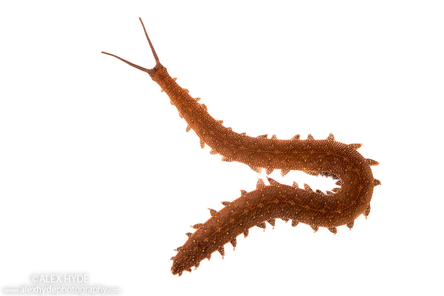 Velvet Worm {Onychophora} discovered under a piece of bark on a rotting log. Photographed on a white background in a mobile field studio. Central Caribbean foothills, Costa Rica. May.