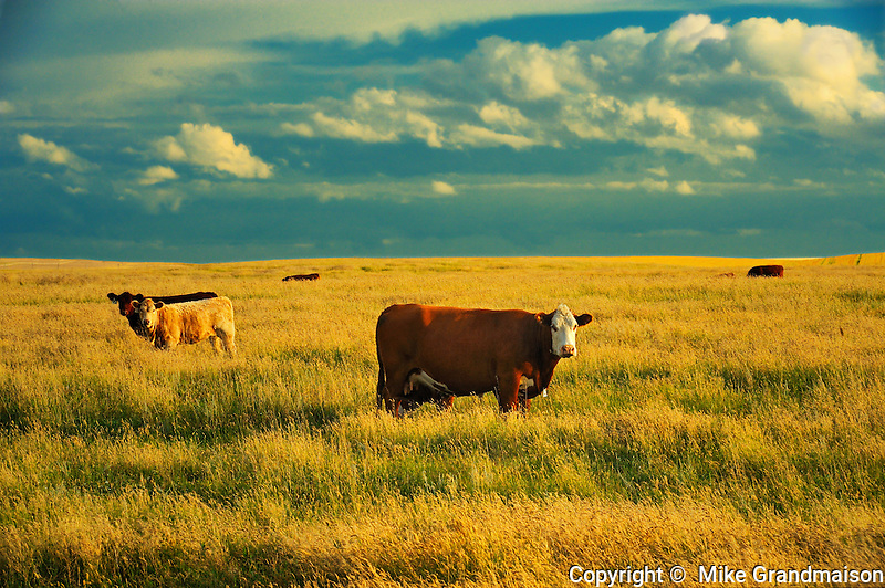 Cattle <br /> Hodgeville<br /> Saskatchewan<br /> Canada