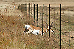 A pronghorn buck crawls under a five-strand barbed wire fence during migration.
