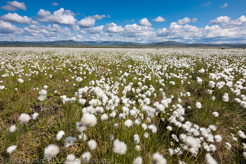 Field of Alaska cotton grass, Arctic, Alaska.