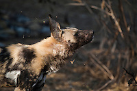 Close-up of an African wild dog shaking its head.