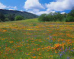 San Luis Obispo County, CA: Meadow of spring wildflowers with scattered valley oaks (Quercus lobata) in the coastal range along the Carrisa Highway