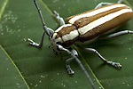 Round-headed Apple Tree Borer