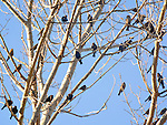 Flock of blackbirds in trees.