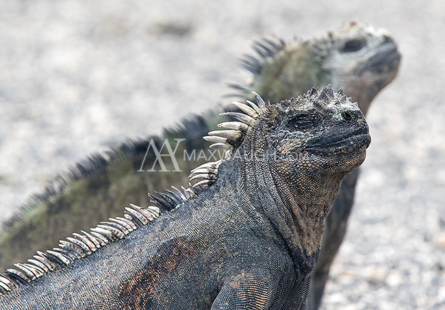 Marine iguanas are one of the iconic species of the Galapagos Islands.  They spend much of their time out of water sunbathing, trying to restore their body temperature after a swim in the cold ocean.
